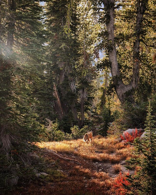 Fox sighting in the wild #EagleCapWilderness was out of this world. The rangers said it was very rare to see a fox above 7500ft. Regardless, it took my breath away. . . . #natureadventure #natureparadise #explorenature #mountainscenery #explorethemountains #welcometonature #neverstopexploring #lifeinthemountains #adventureisoutthere #earthfocus #earthpix #stayandwander #adventurethatislife #theoutbound #wildernessculture #adventurevisuals #keepitwild #folkscenery #lifeofadventure #livefolk #liveauthentic #wallowas #wallowamountains #eaglecap #mirrorlake