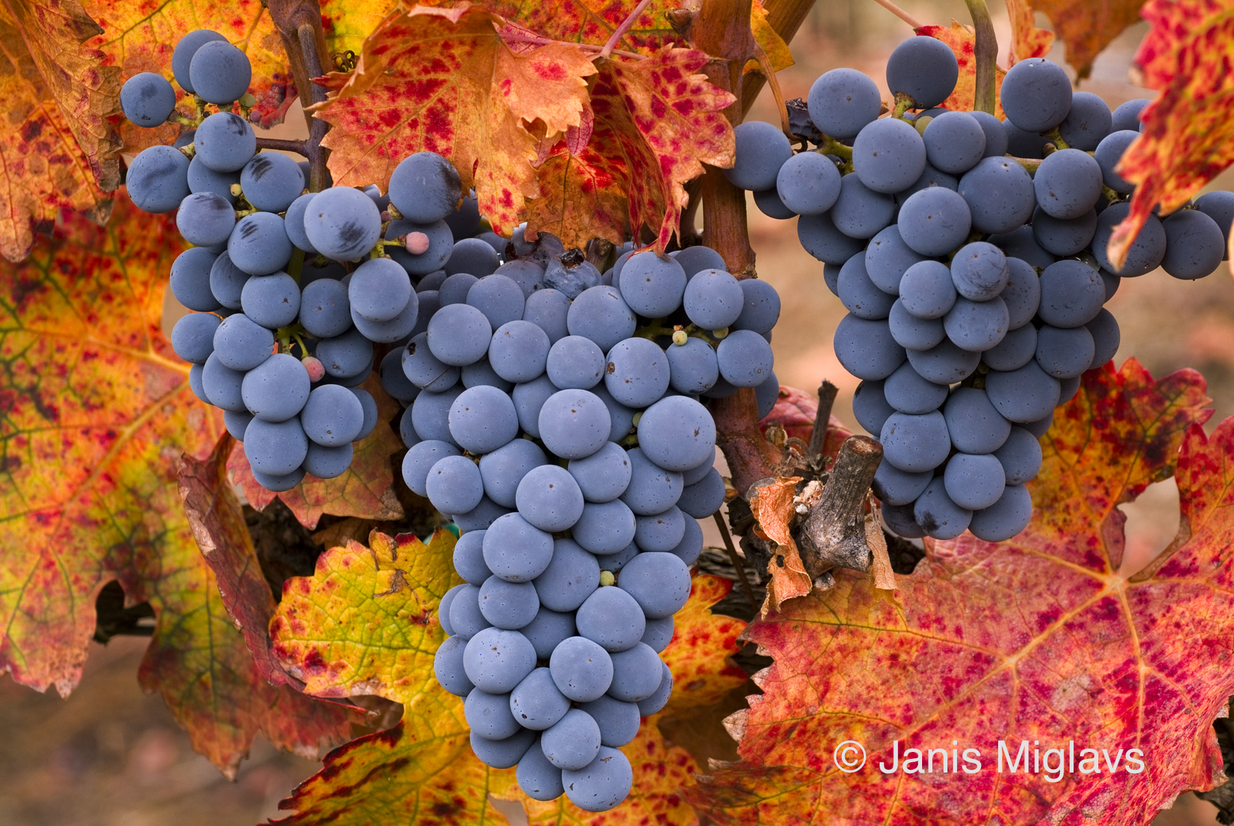 Gold Hill Harvest Ready