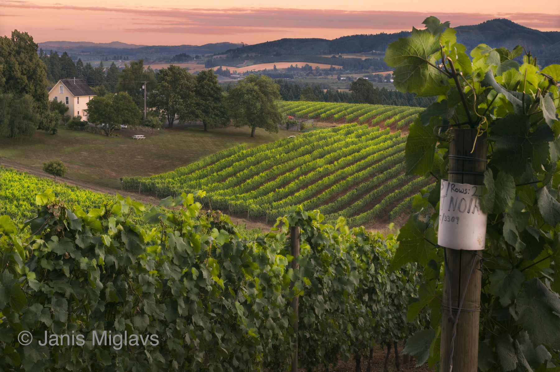 Pinot on the Old Homestead
