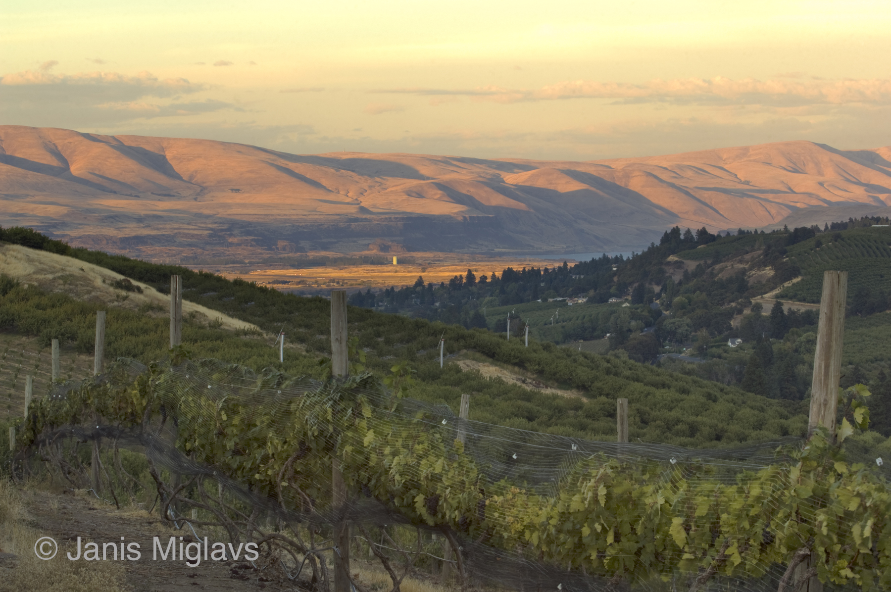 Vineyard Above the Columbia 2