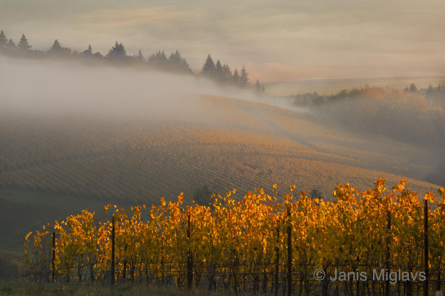 Dundee Hills Morning Fog 2