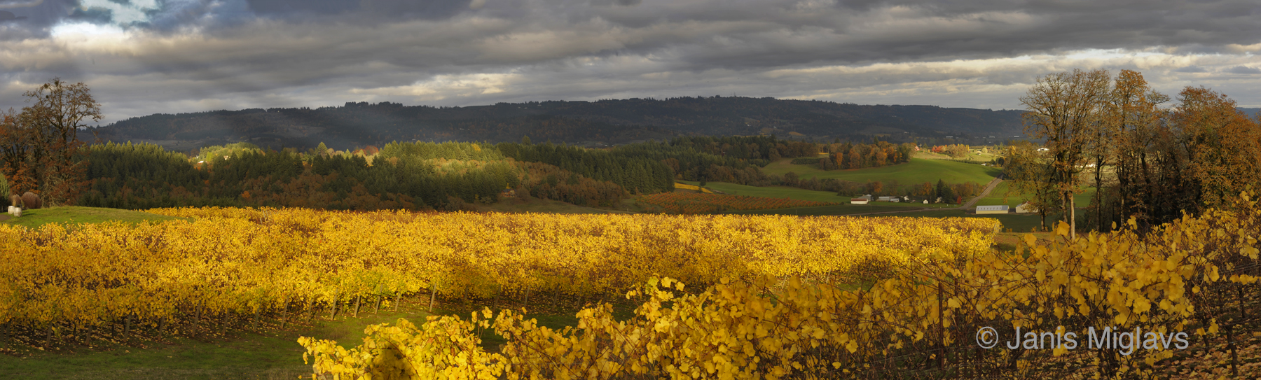 Fall Vineyard Panorama