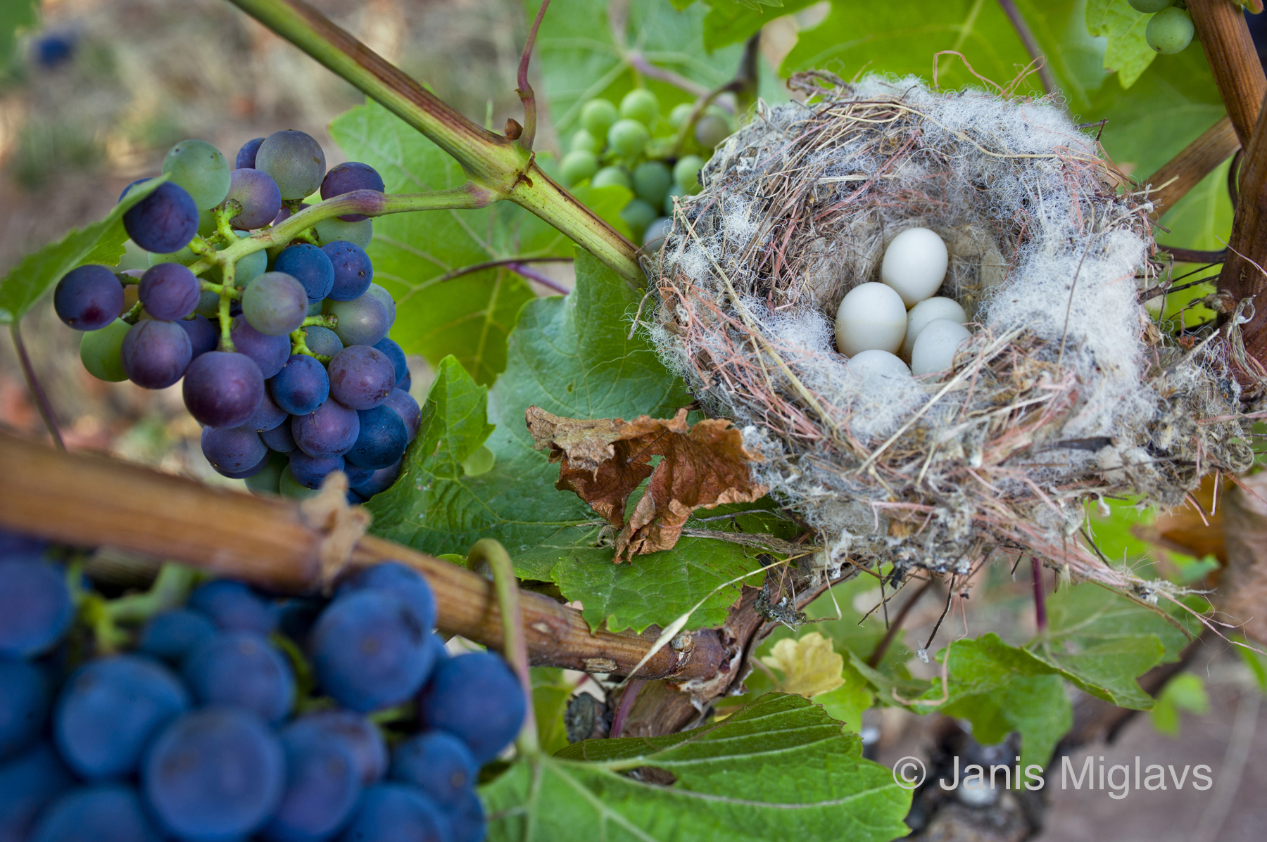 Nest in the Vines