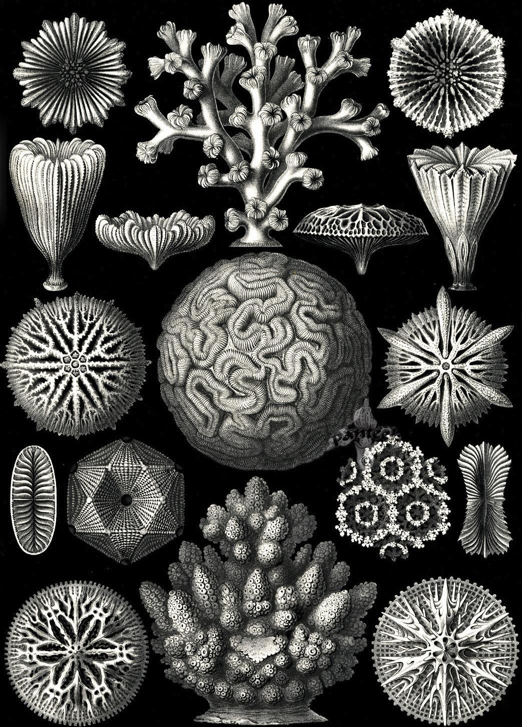 Kunstformen der Natur - Ernst Haeckel 1899-1904 (3).jpg