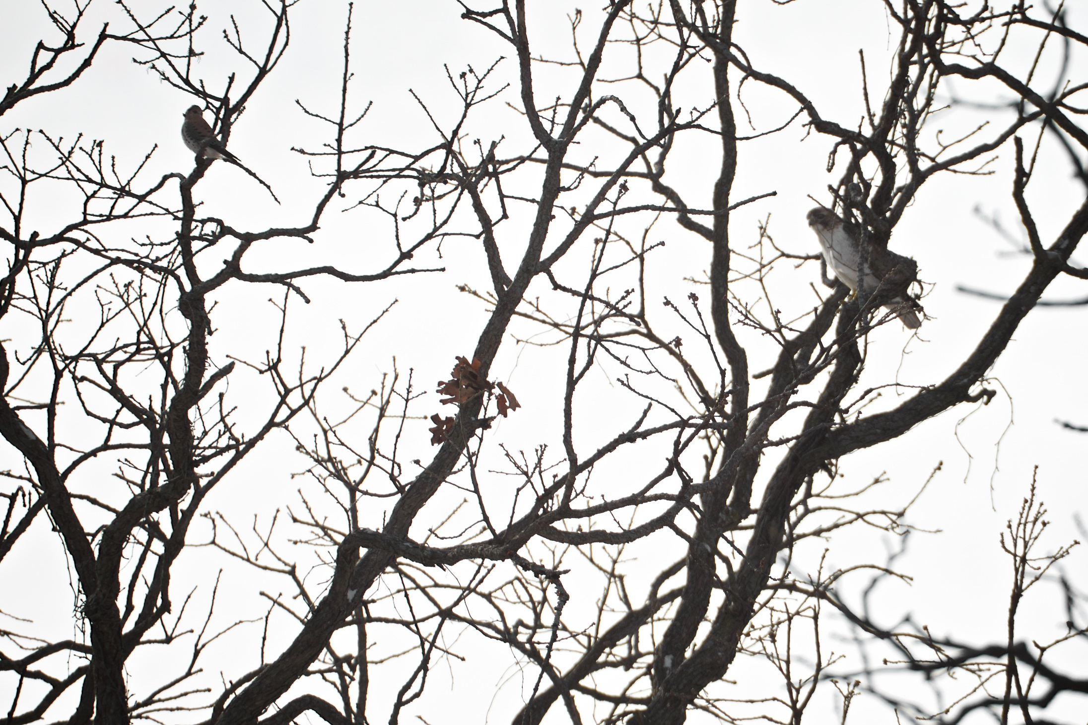 An American Kestrel (L) is watched by a Red Tailed Hawk (R). Yum!