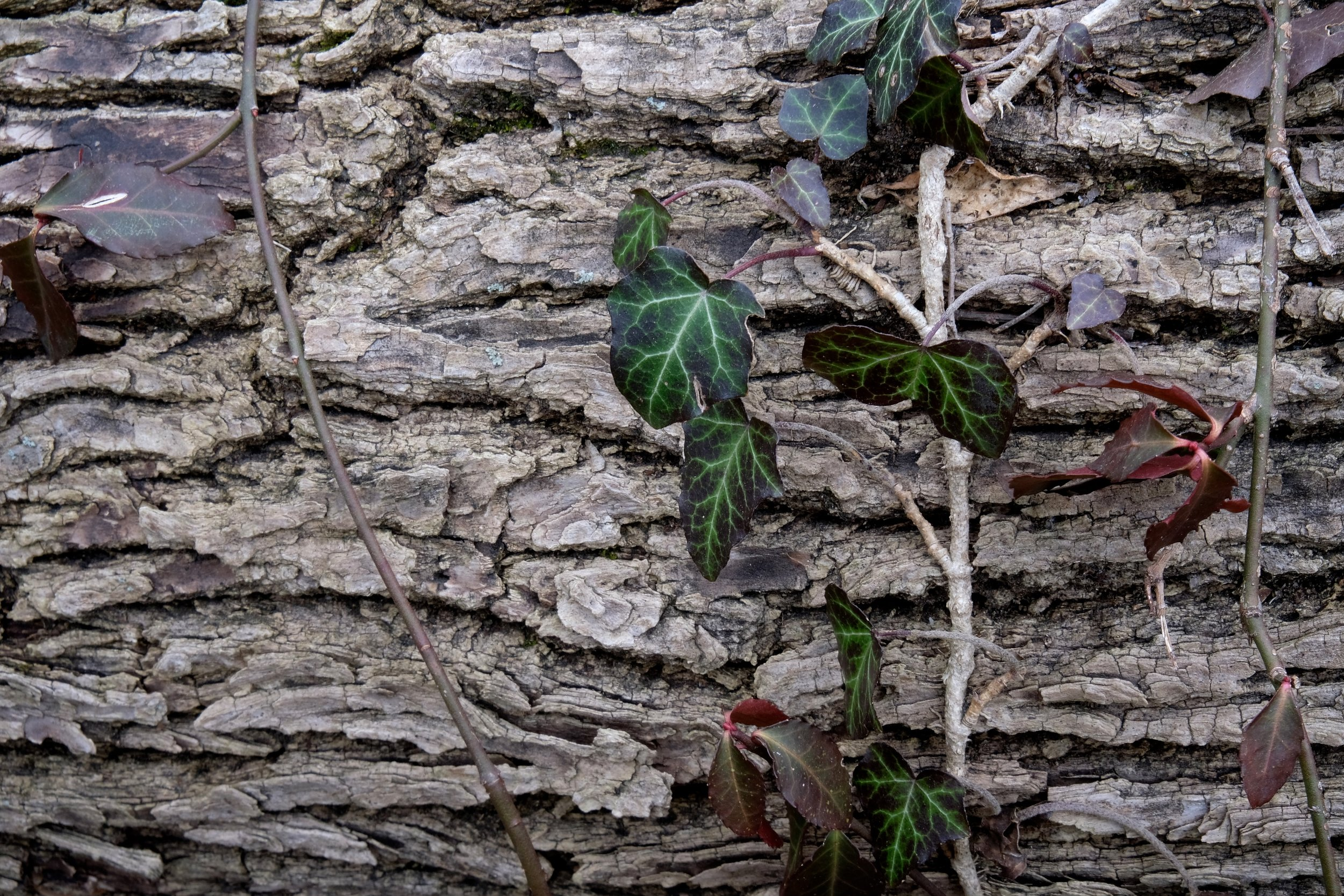 Ivy grows on a fallen tree near one of the many homeless encampments in Forest Park