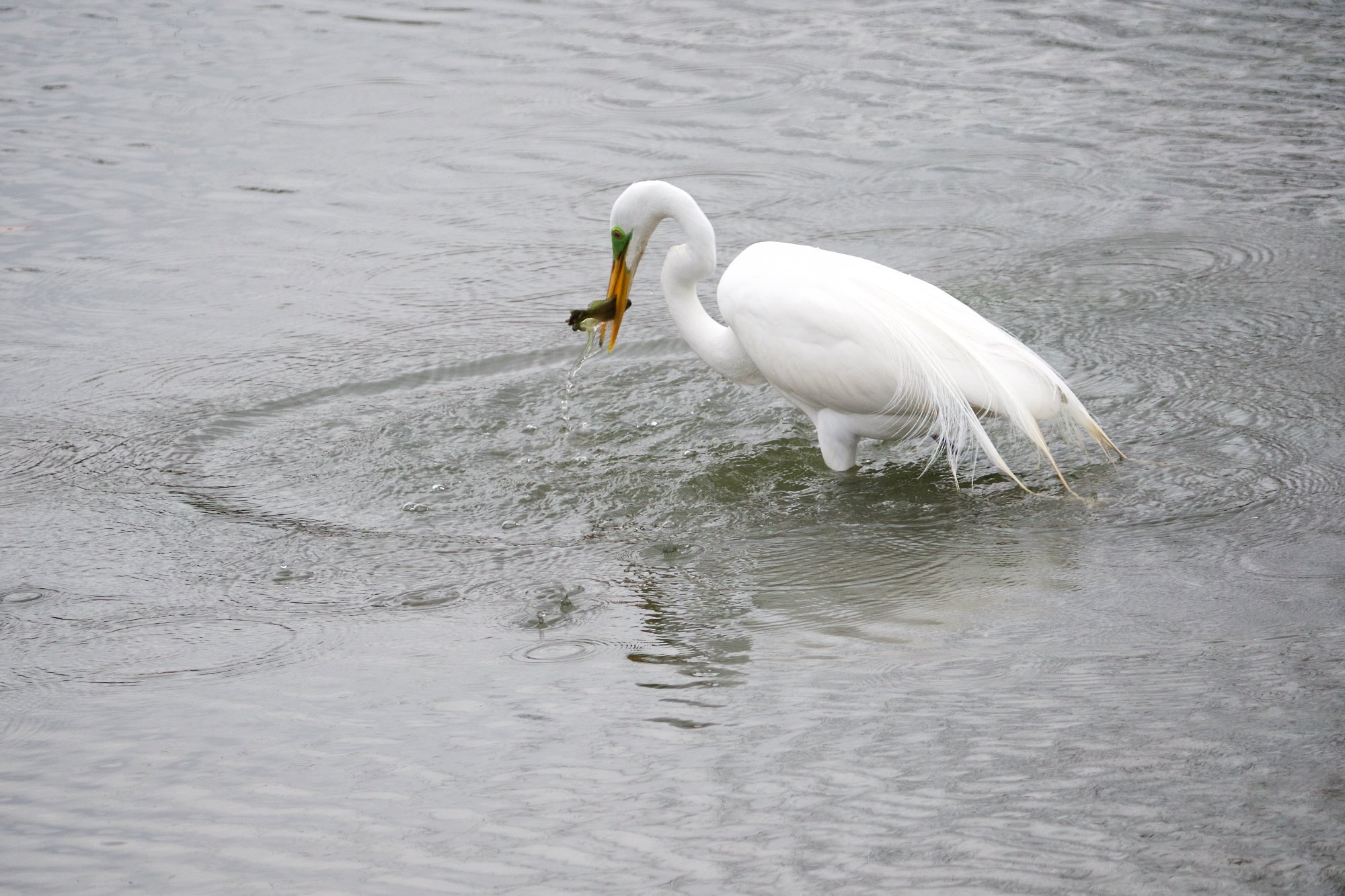 A great egret grabs a snack in St. Louis' Forest Park.