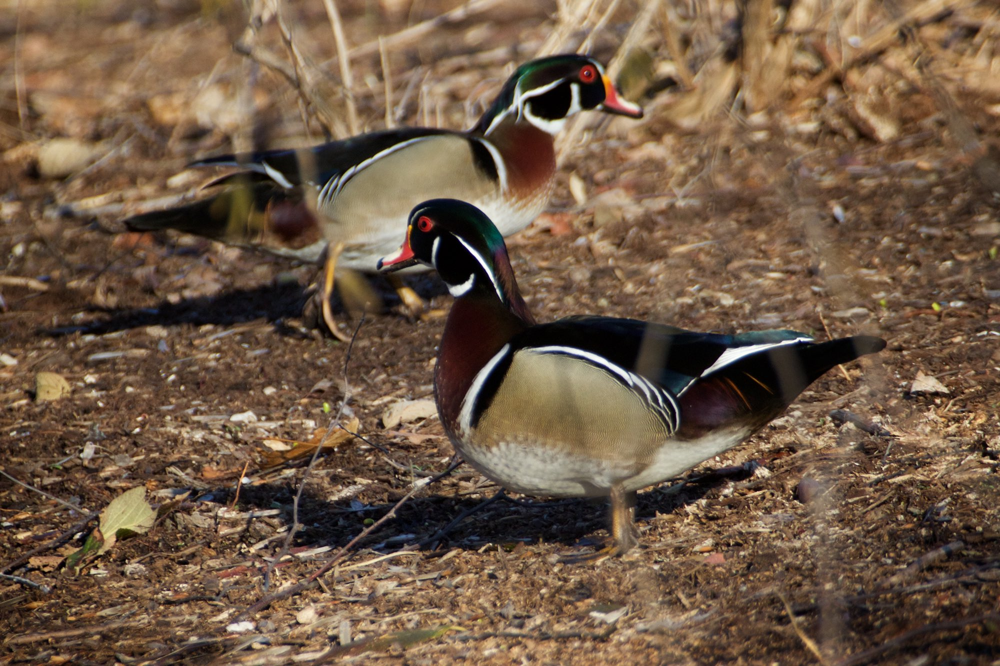 Two Wood Duck drakes in the garden by the the pond in Pagoda Circle. Click image for more photos.