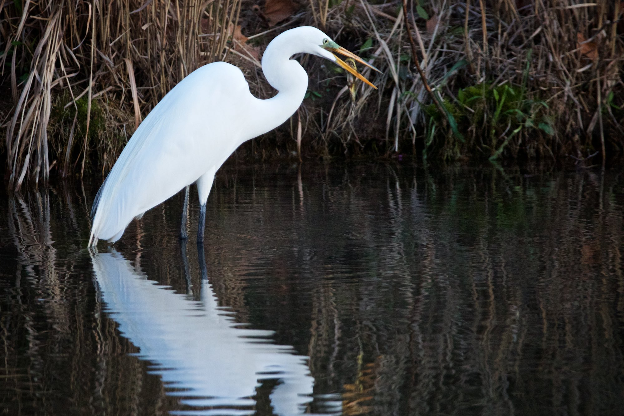 A great egret struggles to get his dinner to cooperate. Click on image for more of today's photos.