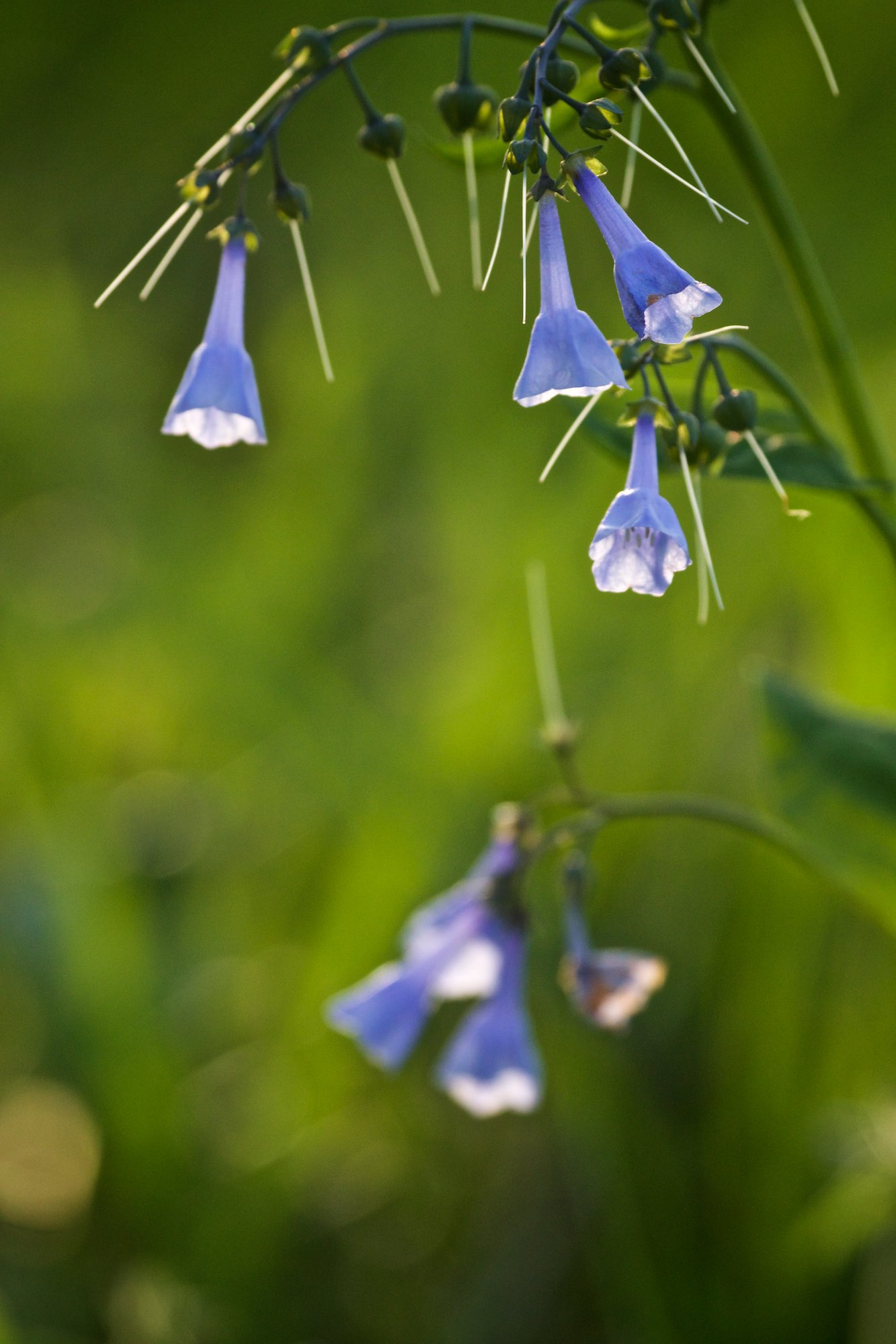 Virginia bluebells. Click on image for more of today's photographs.
