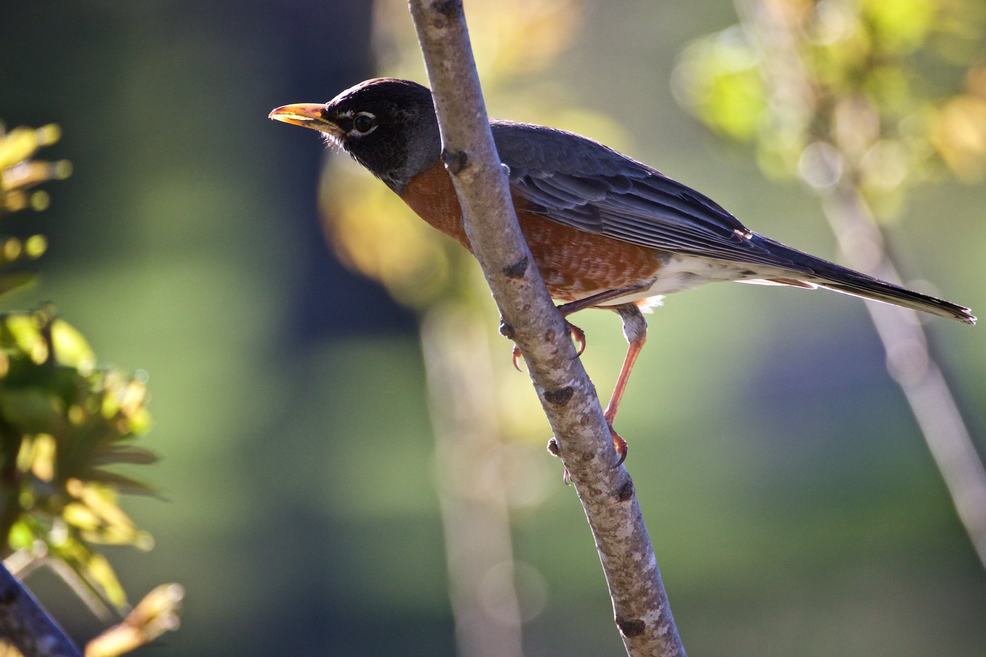 American Robin - Click on this photo to see more images from today.