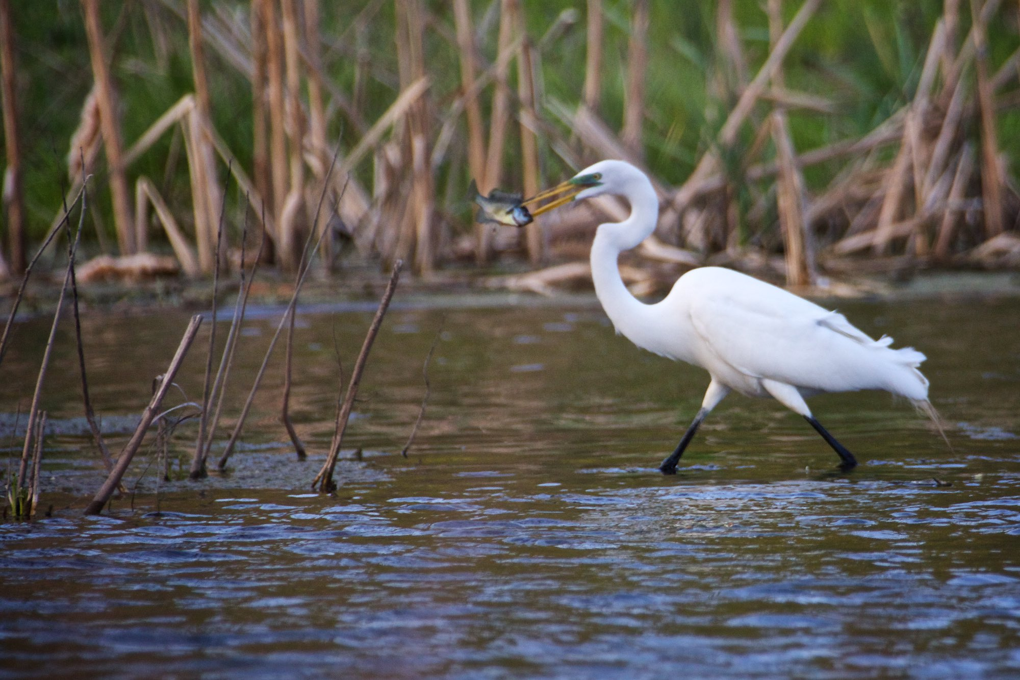 Day 107 - A great egret strides towards shore with a midday snack.