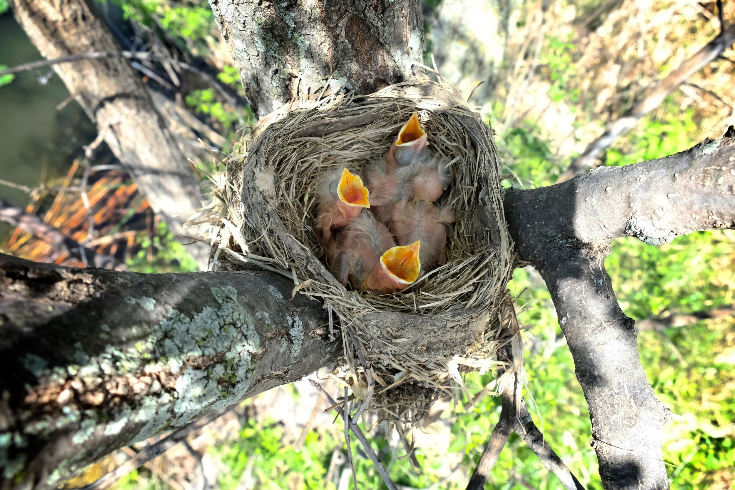 Four young robins in their nest. Click on the image for more photos.