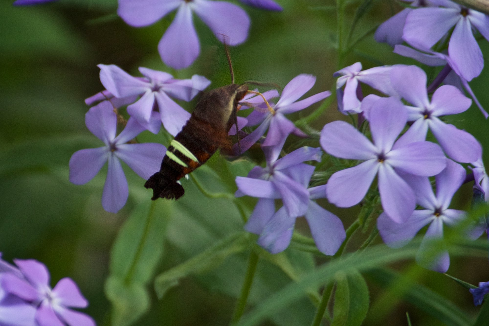 A snowberry clearwing moth sucks the nectar from wild sweet william blossoms. Click image for more.