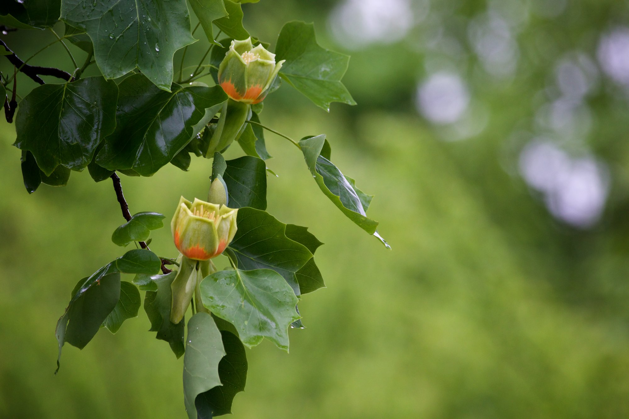 Tuliptree blooms in an eastern meadow. Click on the image for more photos.