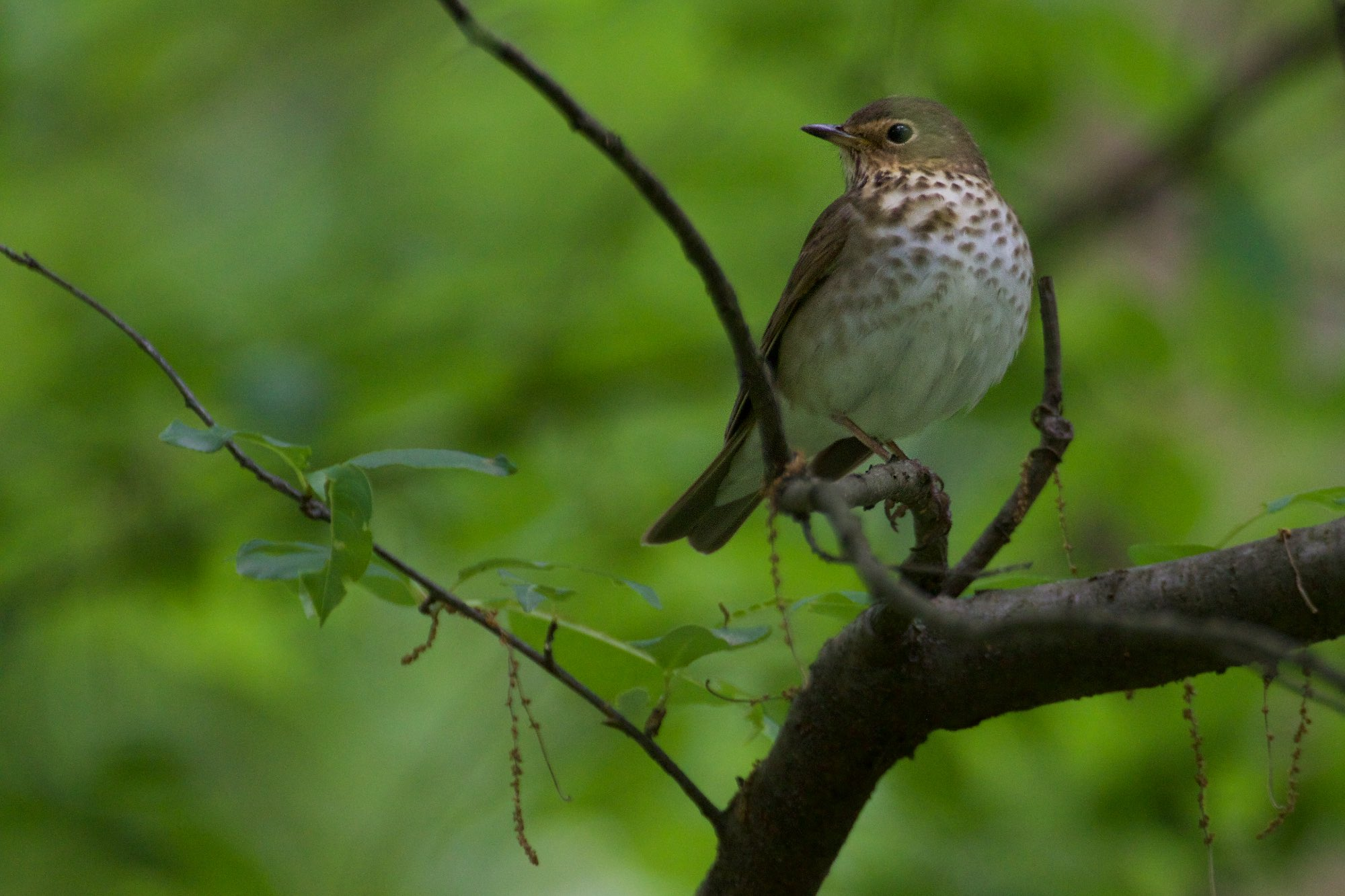 A hermit thrush in the Kennedy Forest of Forest Park. Click on the image to view more photographs.