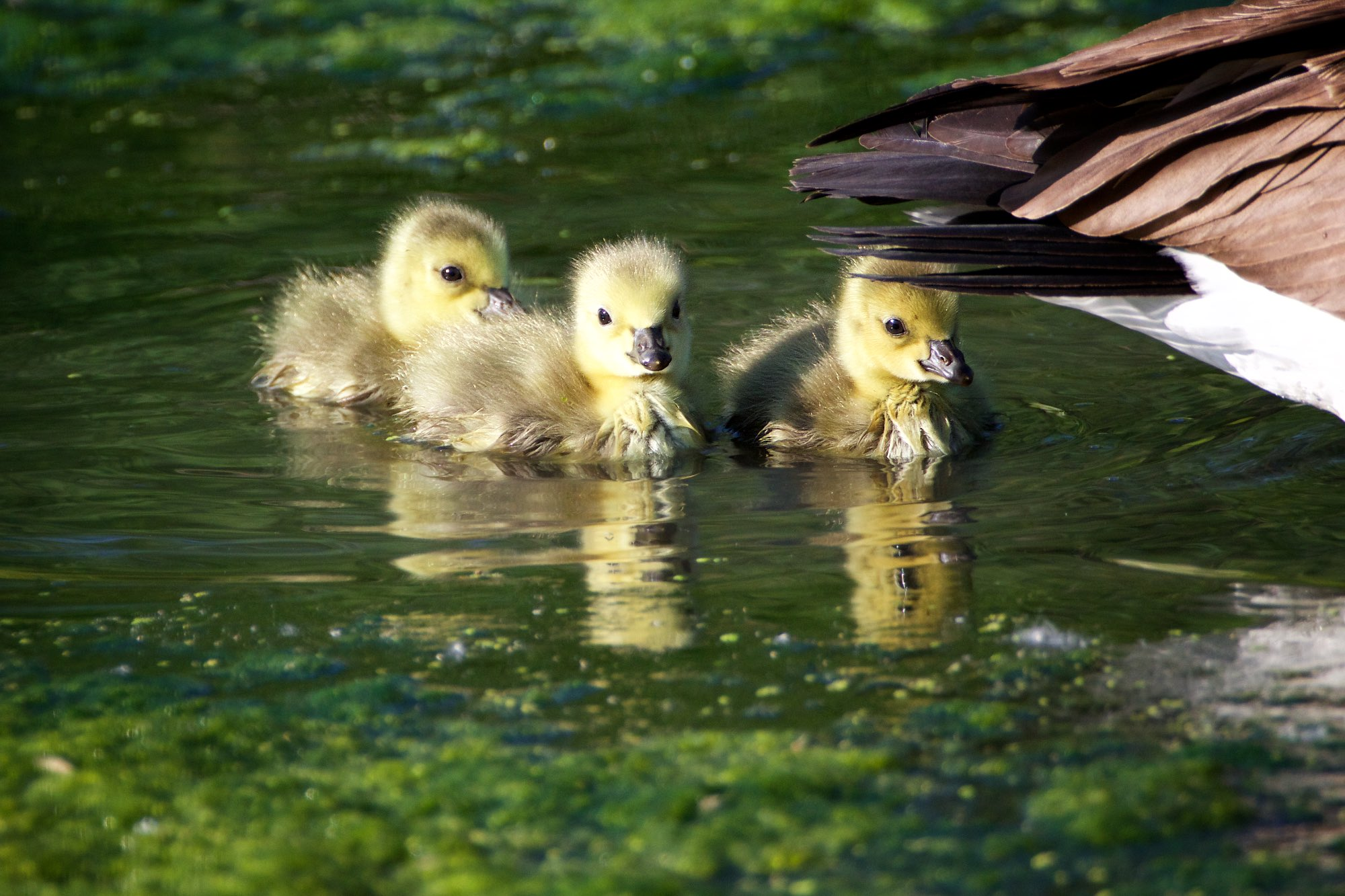 Goslings attend their parents on the algae-crowded waters of Swamp Lake. Click on image for more photos!