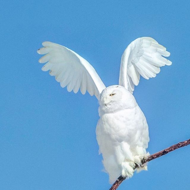 It's almost that time of the year when the snowys start making their way through Ontario. Colder weather patterns will hopefully bring them in by the hundreds in the next few weeks. Have your cameras ready 😜 #opcmag #travelontario #canada150 #ontario #snowyowl #owls #feather_perfection #igscwildlife #angelwings #myfavouiteowl #bringonwinter #birdsofinstagram