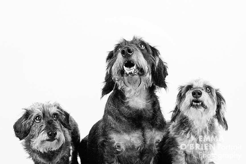 Studio dog portraits shot on location in Johannesburg.