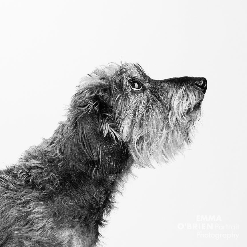 studio dog portraits on location johannesburg