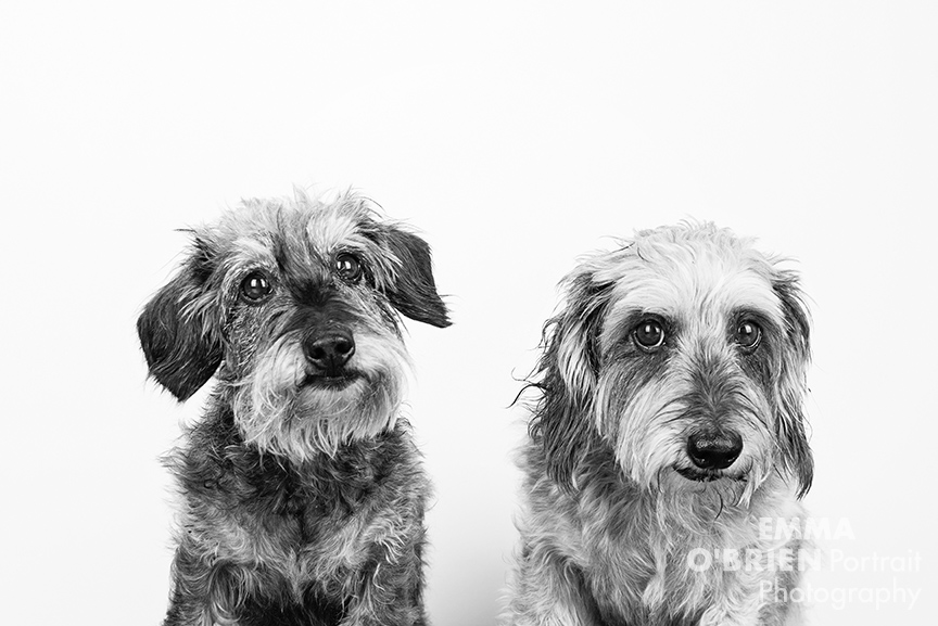 studio dog portraits on location