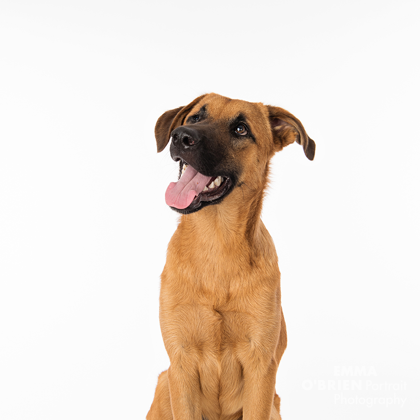 rescue dog studio portrait photography