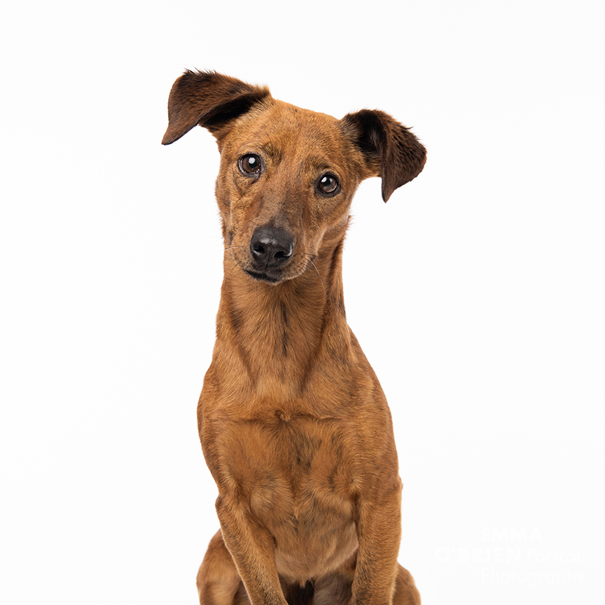 rescue dog studio portrait photography centurion