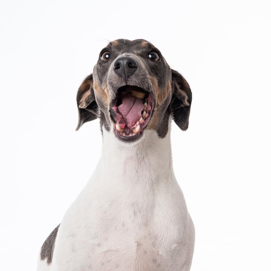 rescue dog portraits studio centurion
