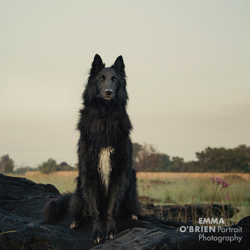 black dog photography tips by specialist dog photographer Emma O'brien