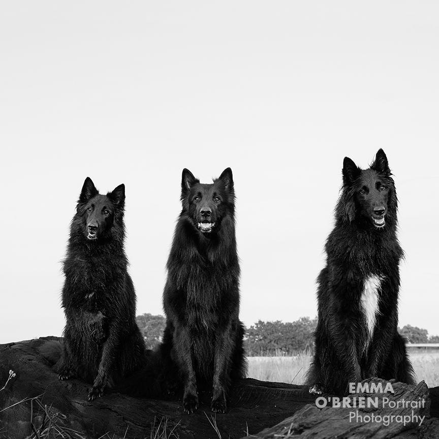 Black dog portrait photography