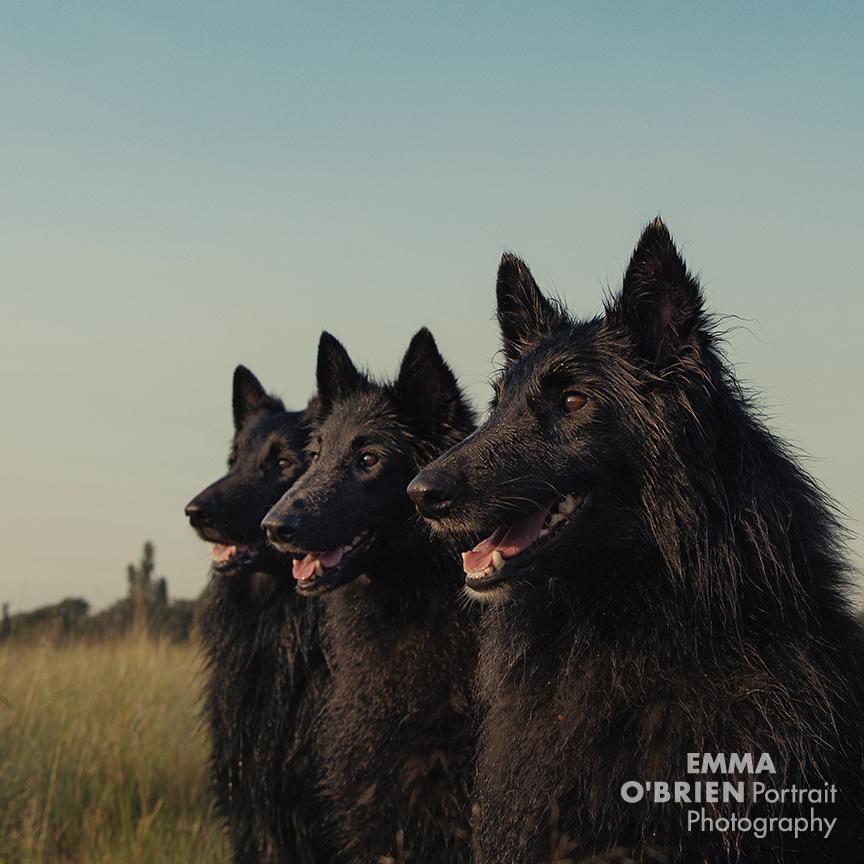 Black dog portrait photography by dog photographer Emma O'brien