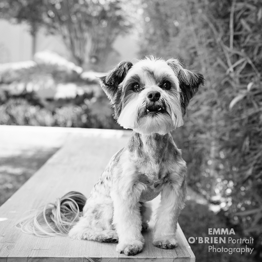dog portrait photography johannesburg