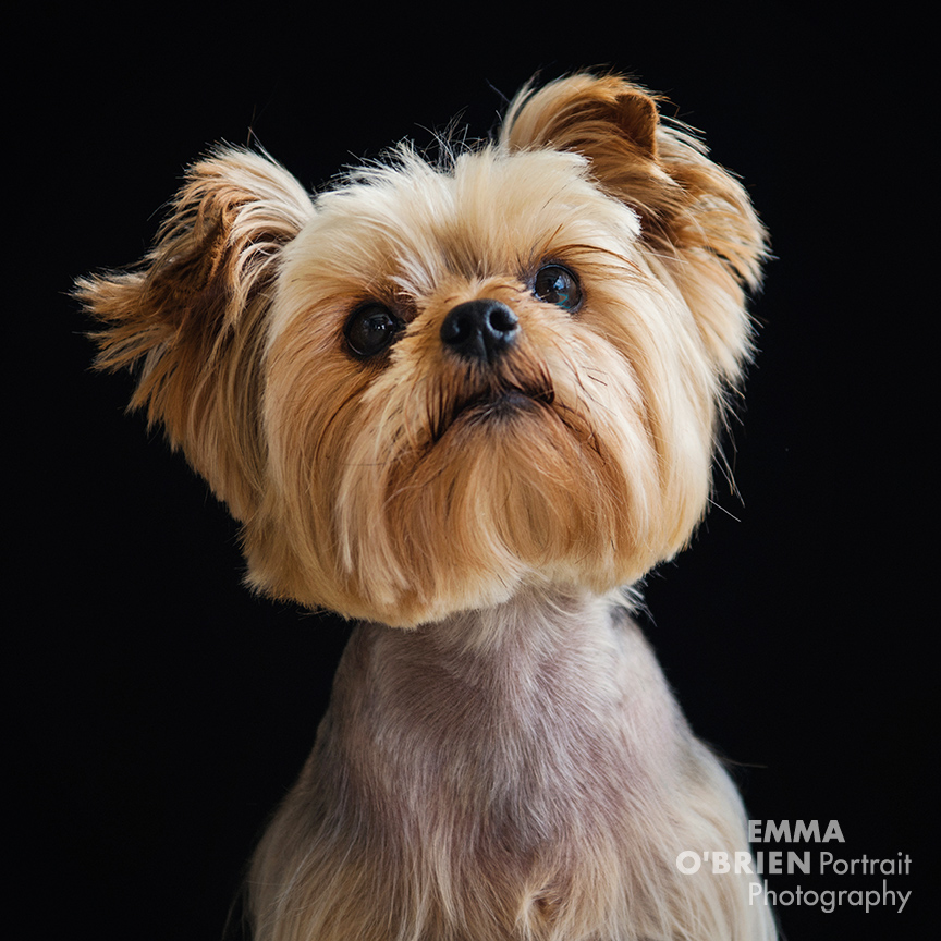 dog portrait photographer johannsburg