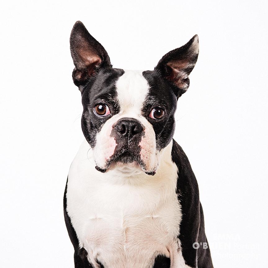 boston terrier studio shoot johannesburg