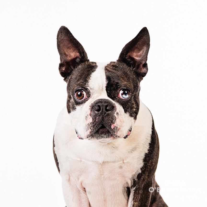 boston terrier studio portrait photography