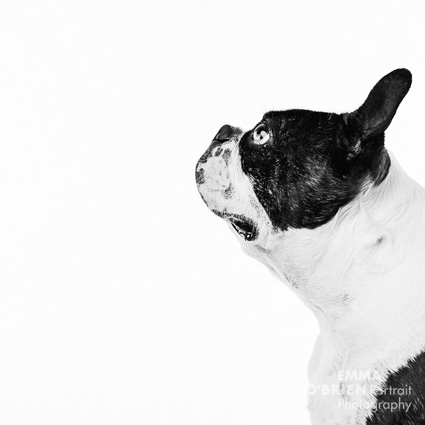 boston terrier studio dog portrait photography