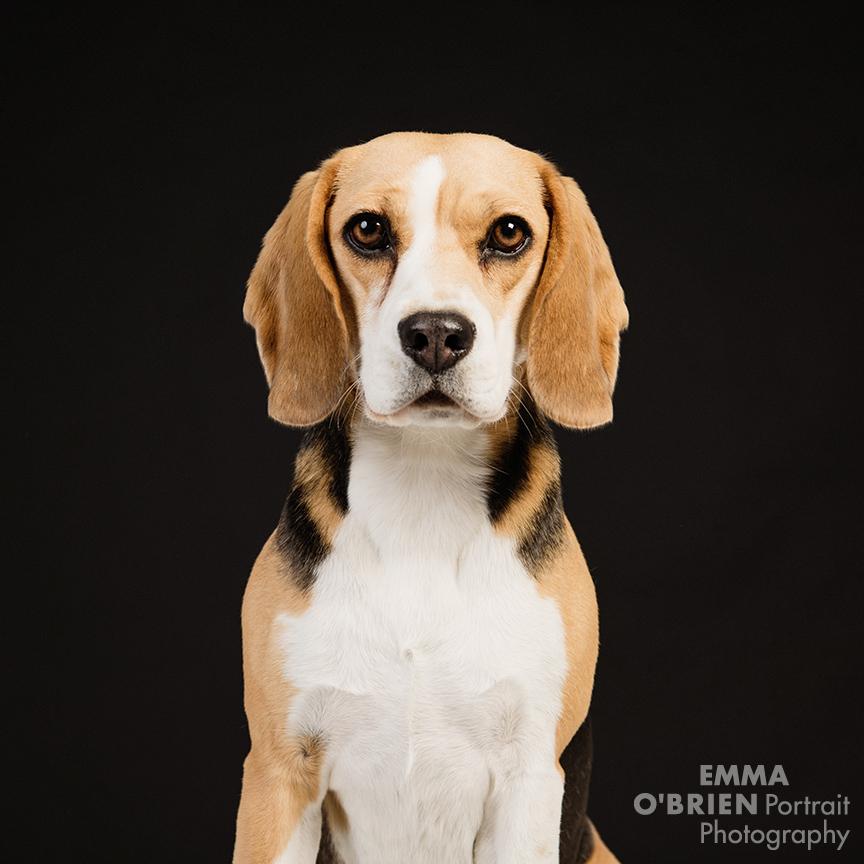 studio dog portrait photography johannesburg pretoria
