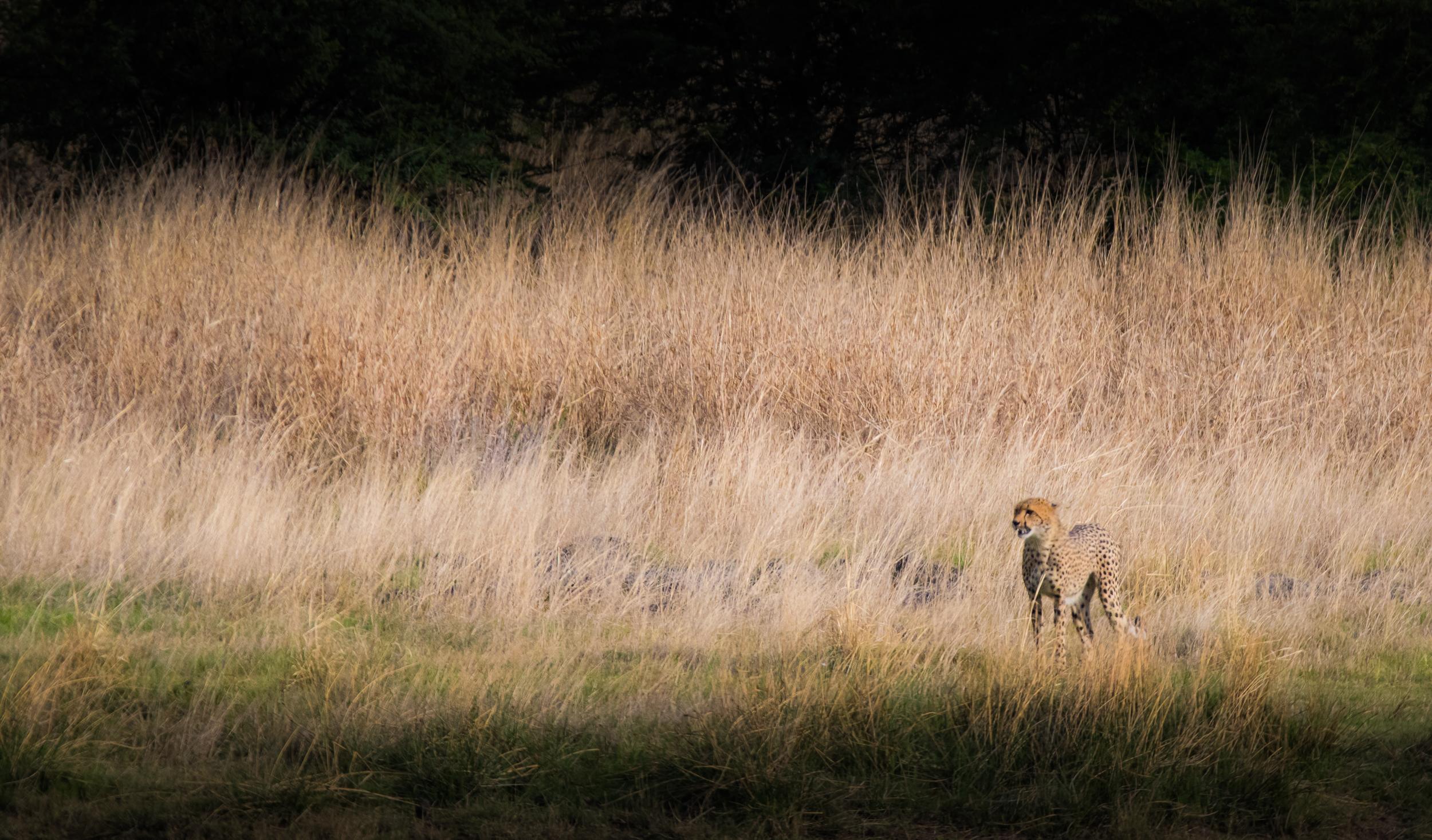 Cheetah-high-4.jpg