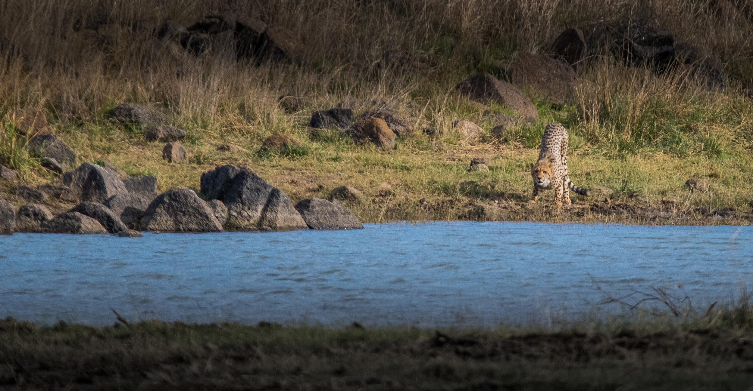 Cheetah-high-3.jpg