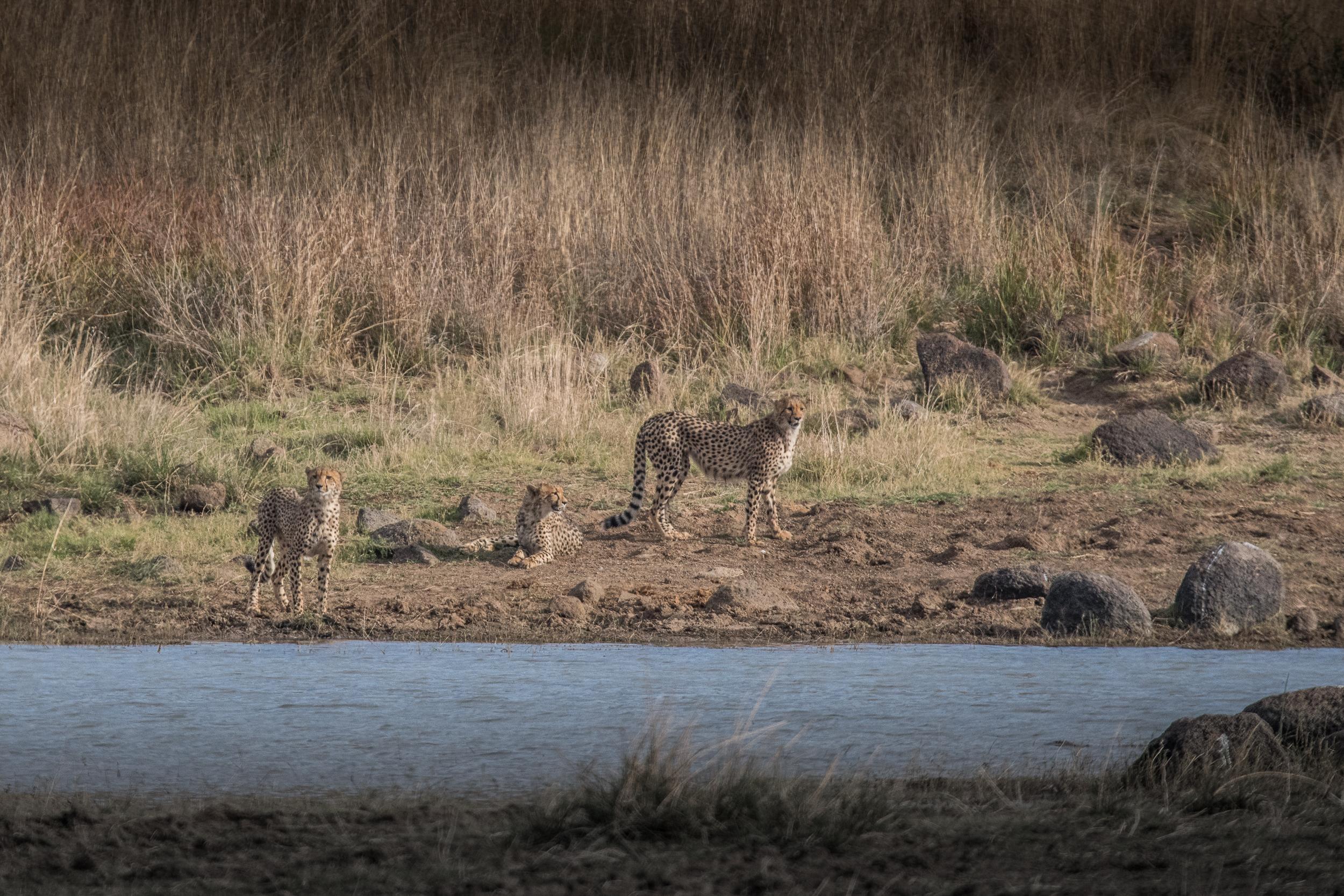 Cheetah-high-2.jpg