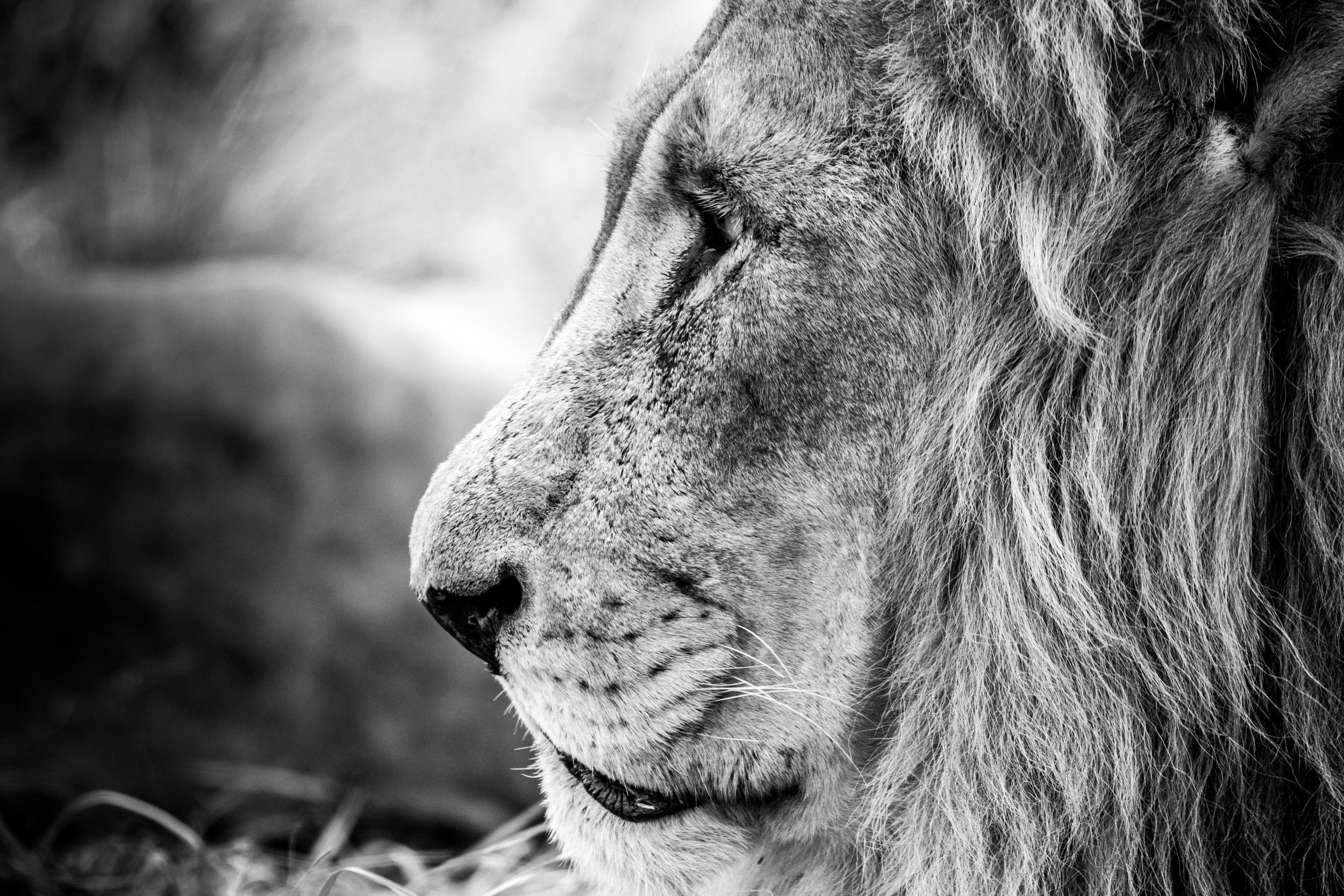 Lions-big-1.jpg