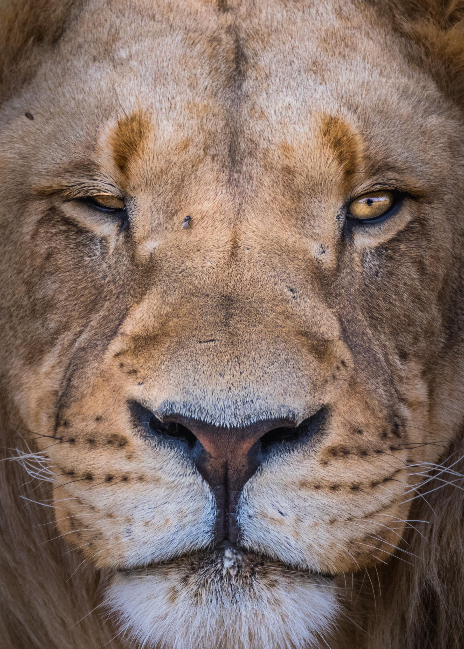 Lions-big-6.jpg