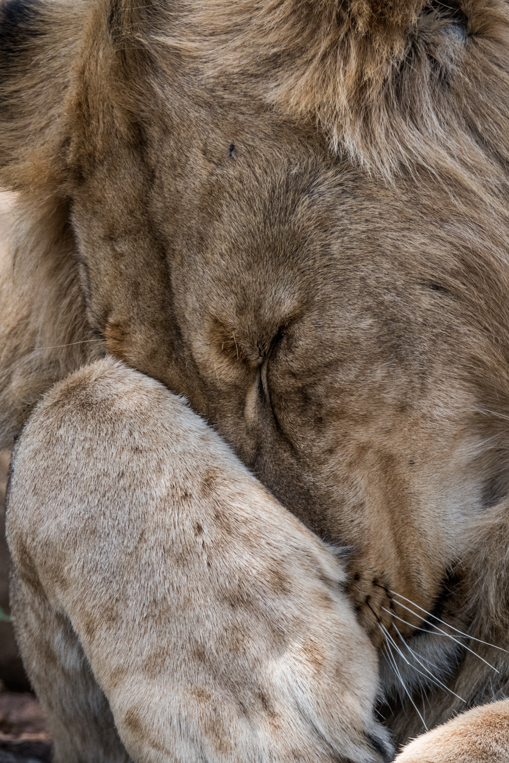 Lions-big-8.jpg