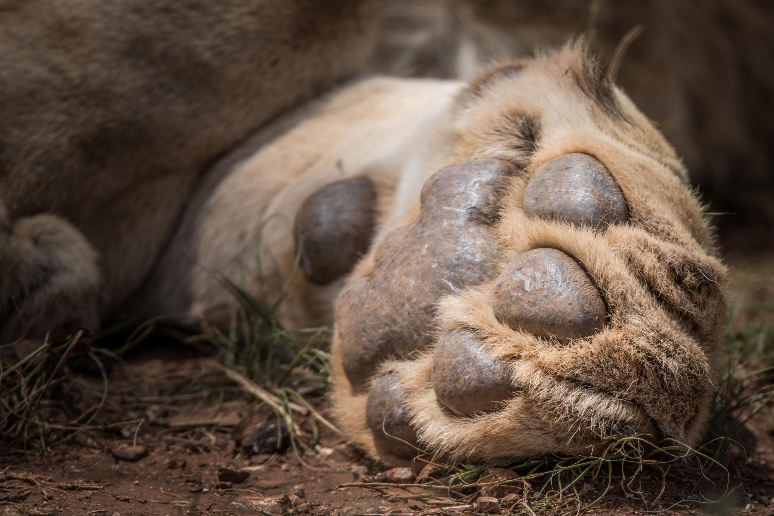 Lions-big-13.jpg