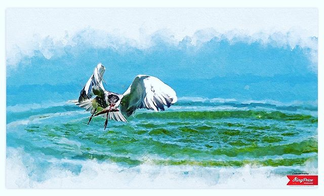 Art is objective they say. This is a photograph I took of a little fellow successfully catching his lunch. I did an edit on the image to give it a painterly feel...how does it look?  #art #painting #digitalpaintings #catchoftheday #birds #fish #sea #caught #ishootstories @kingpriceins