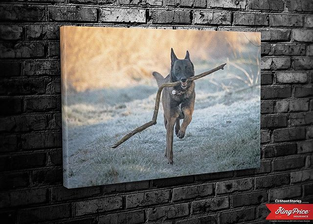 Stubborn, Alert, Friendly, Hard-working, Active, Confident, Protective, Watchful...that's the Malinois! Oh and you can have your own pets on your wall too you know... On that note, please keep your dogs safe and warm this winter...they are keeping you safe you know...
