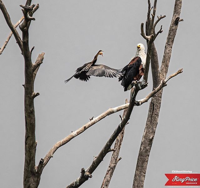 You've got to do whatever it takes to protect the ones you love... #fisheagle #territory @kingpriceins #ishootstories #birds #wildlife #wildlifephotographybird