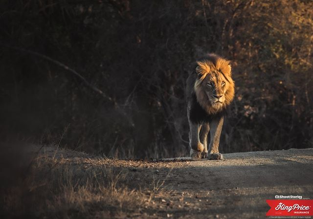 I am not afraid of an army of lions led by a sheep...⠀ I am afraid of an army of sheep led by a lion!⠀ ---⠀ Got this shot af this big boy walking down the road at Kapama Private Game Reserve. Majestic animal!⠀ ---⠀ #lion #wildlife #ishootstories @kingpriceins #lions #lion #wildlife #africa #nature #animals # #animal #safari #lionking #wildlifephotography #bigcats #power #roar