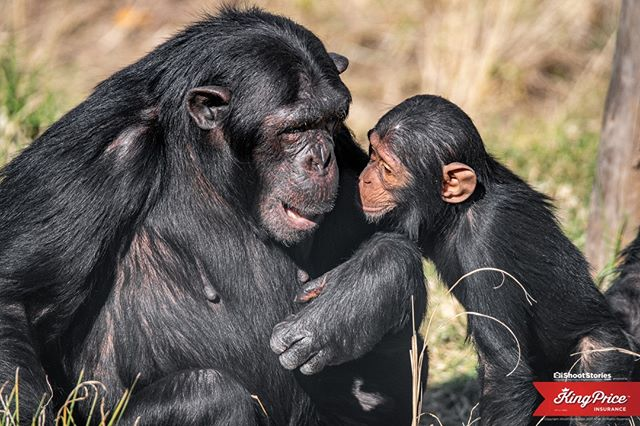 What do you think Baby Amari was saying to her Aunt?⠀ .⠀ .⠀ #chimpanzee #wildlife #ape #animals #chimp #wildlifephotography #monkey #art #nature #janegoodall #chimpanzees #africa #inspired #primates #primate #travel  #explore #photography@kingpriceins #ishootstories