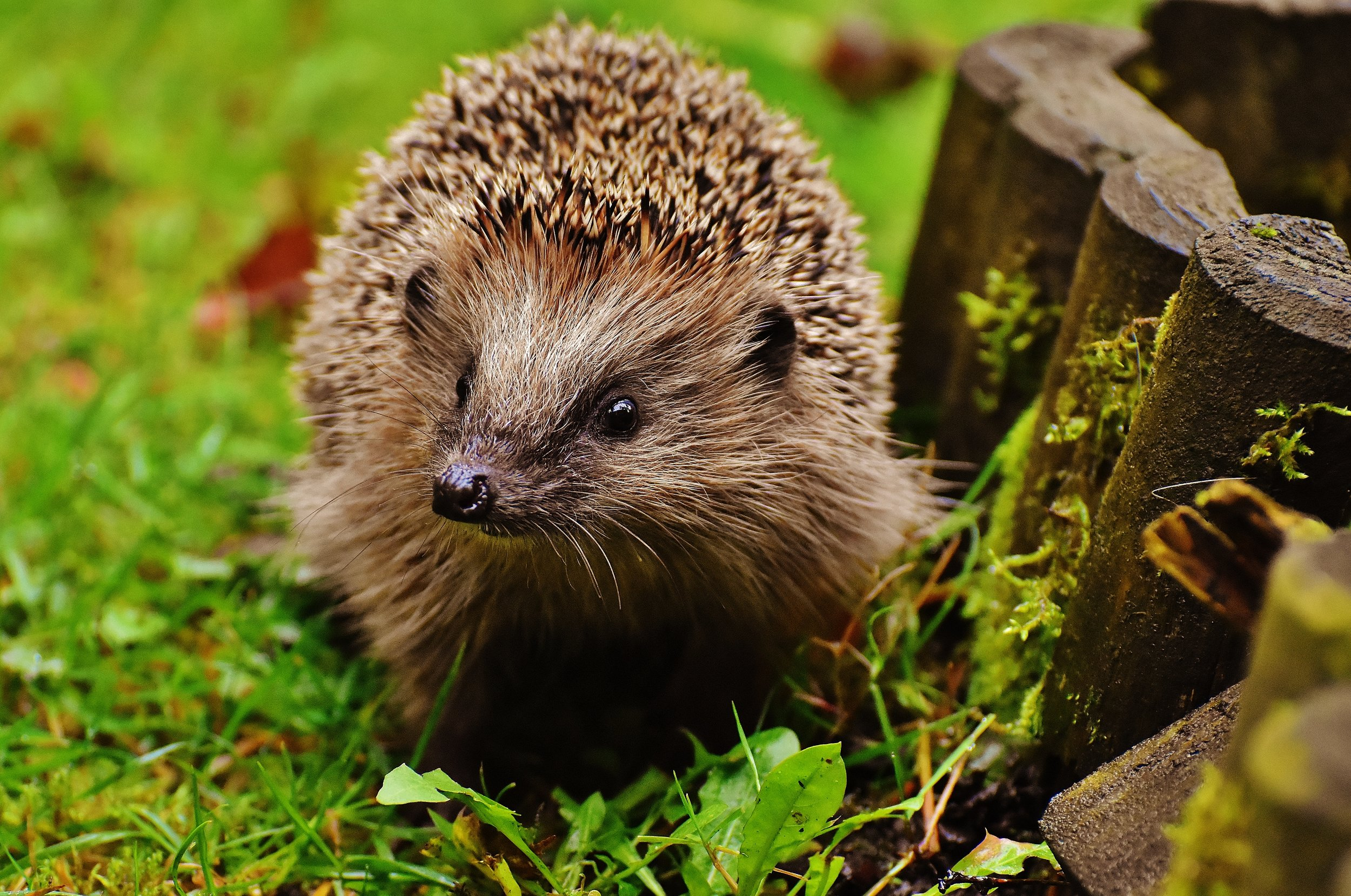 hedgehog-child-1759029.jpg